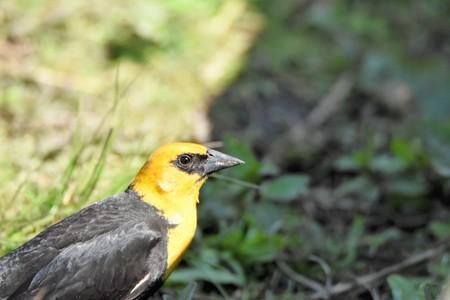 Yellow Headed Blackbird (male)