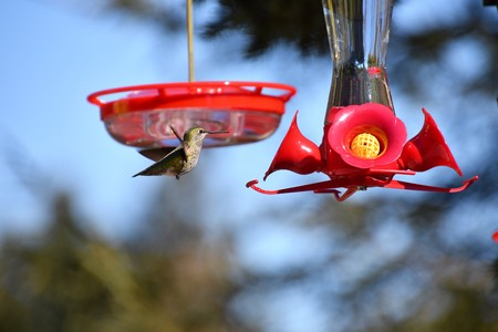 Annas Humming bird?
