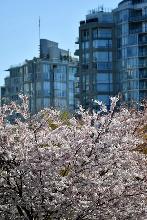 Cherry blossom in Vancouver city 版權商用圖片