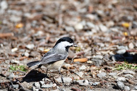 Black-capped Chickadee 免版税图像