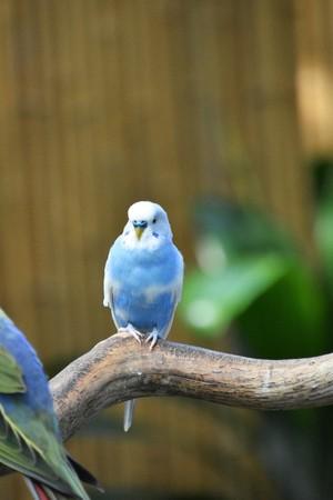 parakeet blue white Stockfoto