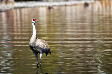The Sandhill Crane came back to the Burnaby lake.