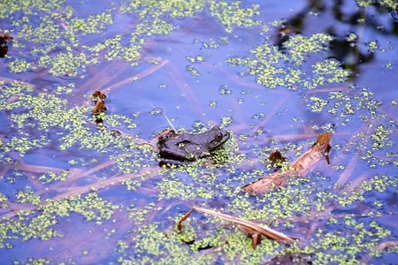 Columbia Spotted Frog. The Spotted Frog is a large brown true frog with ill defined spots. The maximum adult size is 10 cm. The two species of Spotted Frogs are very similar. The Columbia Spotted Frog differs from the Oregon Spotted Frog in having a larger head. Stock fotó