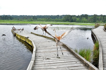 Two Sandhill Cranes Dancing on the pier. Stok Fotoğraf