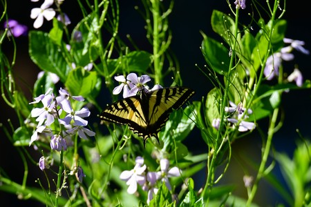 Swallowtail butterfly in the garden. Burnaby Lake BC Canada Stock Photo