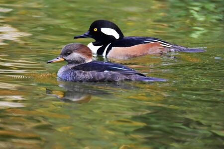 A pair of Hooded merganser swimming in the pond.