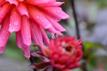 A closeup of dahlia flower just after the rain. Victoria BC Canada