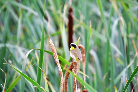 A Common Yellowthroat perching on the spikelet. Iona Island Richmond BC Canada Stok Fotoğraf