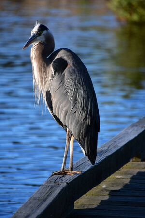 A closeup of Great Blue Heron perching on the pier. Burnaby Lake BC Canada