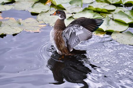 A Woodduck preening its feathers by bathing and splashing around its wings. summer plumage Burnaby lake BC Canada