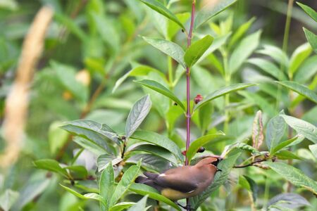 A Cedar Waxwing perching on the branch. Burnaby Lake BC Canada