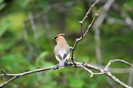 A Cedar Waxwing perching on the branch. Burnaby Lake BC Canada Archivio Fotografico