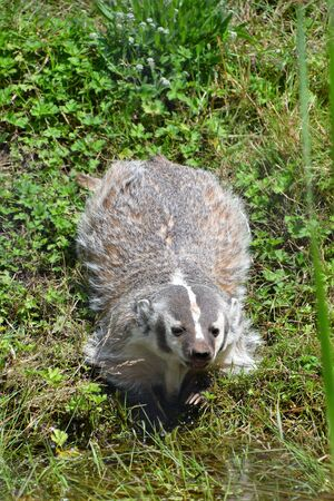 A view of Badger playing on the ground. Langley BC Canada Stockfoto