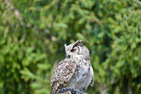 A closeup of Great Horn Owl perching on the stud. Langley BC Canada