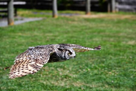 A closeup of Great Horn Owl flying in the air. Langley BC Canada