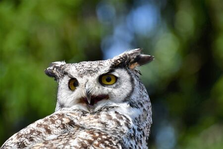 A closeup of Great Horn Owl. Langley BC Canada