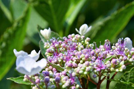 A closeup of Hydrangea in the garden. Victoria British Columbia Canada
