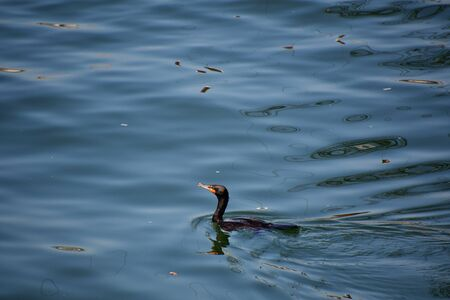 A view of Double-crested Cormorant swimming on the sea. North Vancouver BC Canada