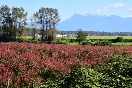 A view of a blueberry farming where the leaves are turning red. BC Canada