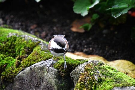 A picture of Chestnut-backed Chickadee perched on a rock. Victoria BC Canada