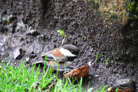 A picture of Chestnut-backed Chickadee eating the walnut . Victoria BC Canada Stock Photo