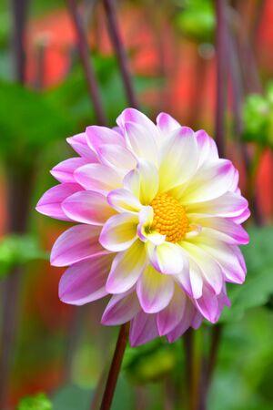 白色和浅紫色的大丽花特写镜头在庭院里。维多利亚州卑诗省加拿大