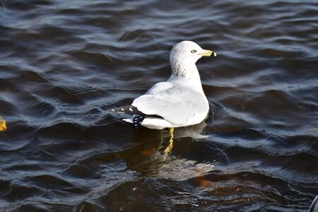 A Closeup of a Ring-billed Gull Swimming in the Lake. BC Canada