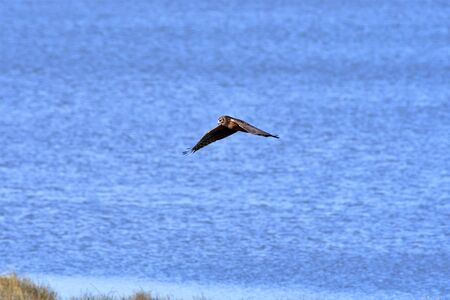 A Northern Harrier Flying Close to the Waves. Richmond BC Canada Stockfoto