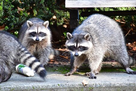 A trio of racoons searching for food in Stanley Park.   Vancouver BC Canada