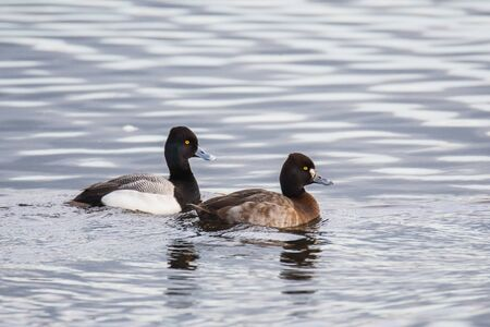 A pair of Greater Scaups swimming in the lake.  Vancouver BC Canada 版權商用圖片