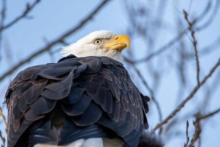 A Closeup of a Bald Eagle Perching on the Branch.  Delta BC Canada
