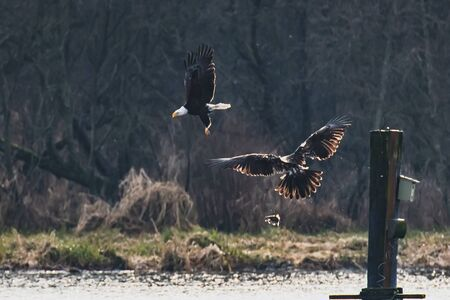 A Bald Eagle That Dropped Its Prey After Being Ed Around.    Vancouver BC Canada Stockfoto