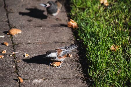 A picture of Chestnut-backed Chickadee Eating the Walnut . Victoria BC Canada