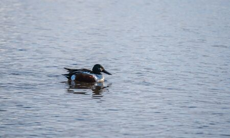 A picture of Northern shoveler swiming in the lake.  Vancouver BC Canada