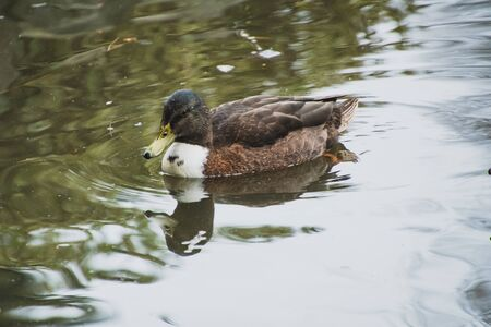 A picture of a female mallard hybrid swimming in the pond.  Victoria BC Canada