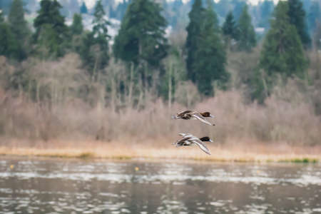 A pair of greater scaups flying in the air.   Vancouver BC Canada Standard-Bild