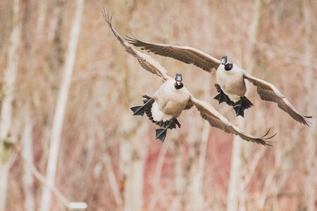 A picture of Canada geese touching down to the lake. Vancouver BC Canada