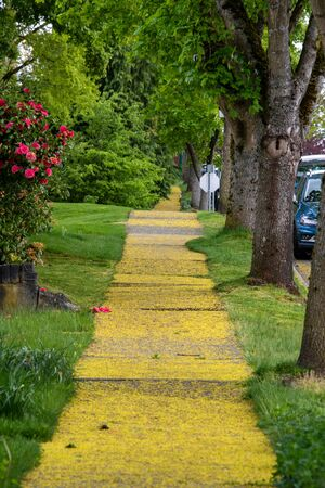 Sidewalks covered in fallen maple flowers. Vancouver BC Canada Stockfoto