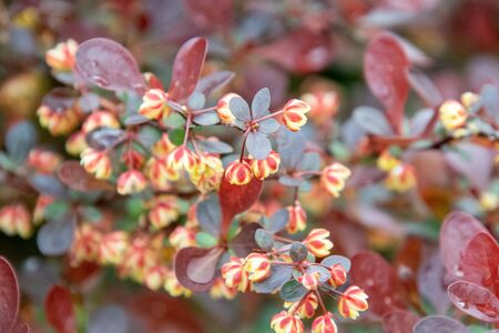 A picture of some Berberis Thunbergi blooming in the garden. Vancouver BC Canada