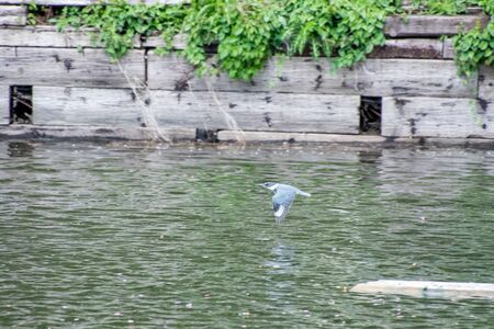 A picture of a belted kingfisher flying on the pond. West Vancouver BC Canada