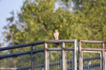 Cooper's Hawk Resting on the Fence. Vancouver BC Canada