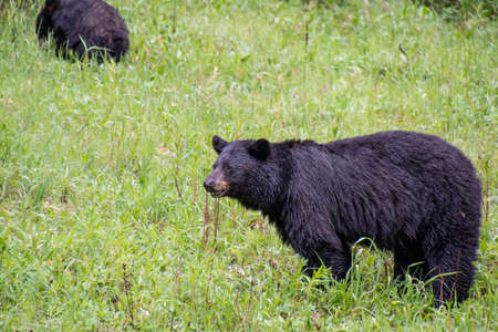 Blackbears eating some plants by the roadside. Banff National park AB Canada