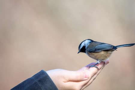 Feeding a black-capped chickadee by hand. Delta BC Canada