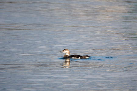 A picture of a common loon swinging in the sea.  Vancouver BC Canada