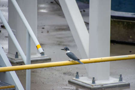 A picture of a belted kingfisher perching on the pipe. Victoria BC Canada