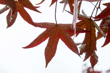 A picture of red transparent maple leaves.   Vancouver BC Canada