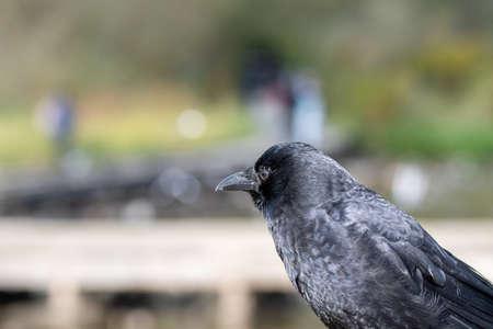 A closeup of a American Crow.     Vancouver BC Canada 版權商用圖片