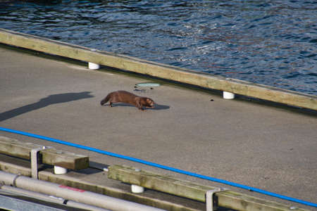 A critter seen at the harbor area.   Vancouver BC Canada 版權商用圖片