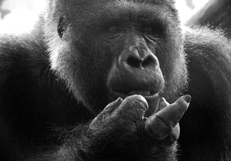 ape shows finger Stock Photo