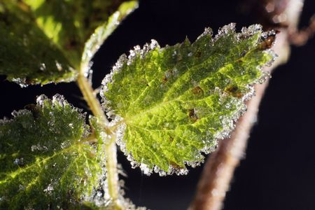 frozen ice crystals on green stinging nettles photo